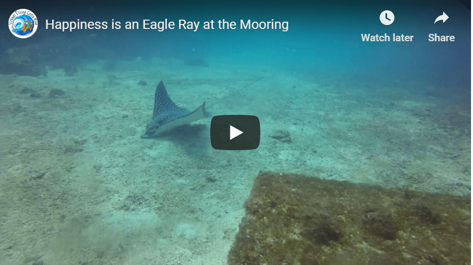 Happiness is an Eagle Ray at the Mooring