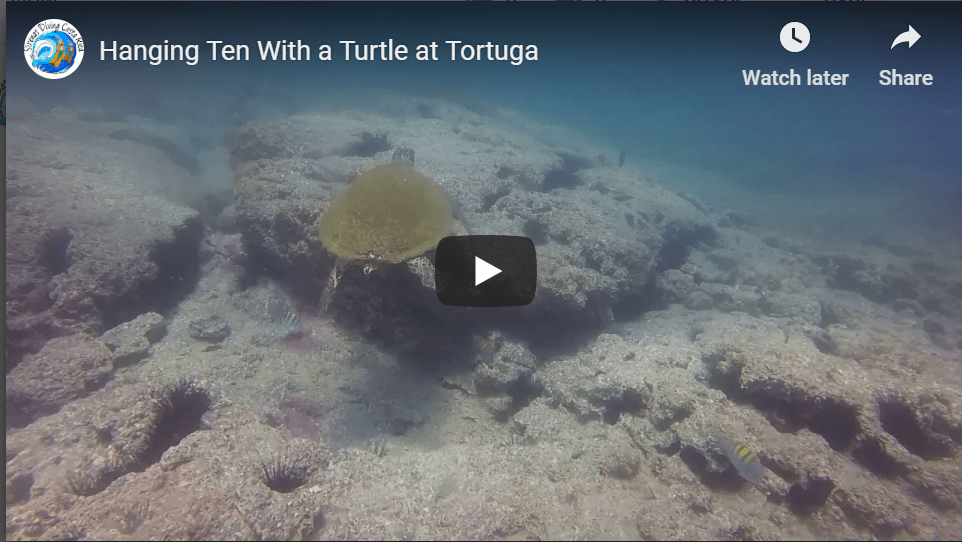 Hanging Ten With a Turtle at Tortuga