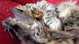 sirivil.no verdens mest bortskjemte katt