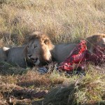 真っ赤な血肉と縞模様のコントラストが生々しい。もうかなりの肉はなくなっていたが、ひょっとすると、違う動物によりしとめられたのかもしれない。