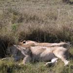 ライオンは寝ている。