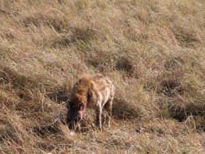 """顔を血で真っ赤に染めたハイエナ(hyaena)。死肉をあさる""""略奪者""""というイメージが強いが、なかには自ら獲物を捕獲するものもいるという。"""