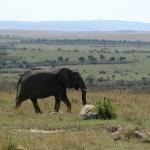 マサイ・マラは「国立保護区」(national reserve)で、「国立公園」(national park)ではない。これは、管理する主体が国ではなく、州が独立して管轄しているから。ケニアには59ヶ所の公園、保護区があるという。