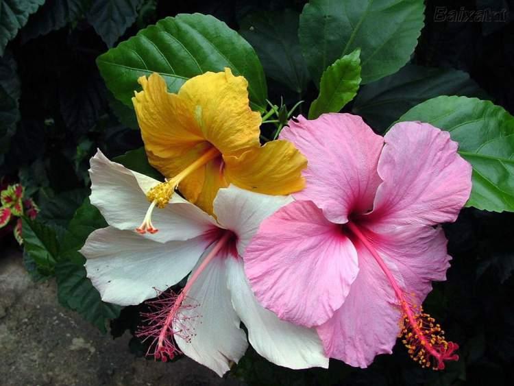 Hibisco é uma das Flores Que Suportam o Sol Forte