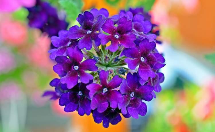 Verbena é uma das Flores para atrair Borboletas ao seu Jardim