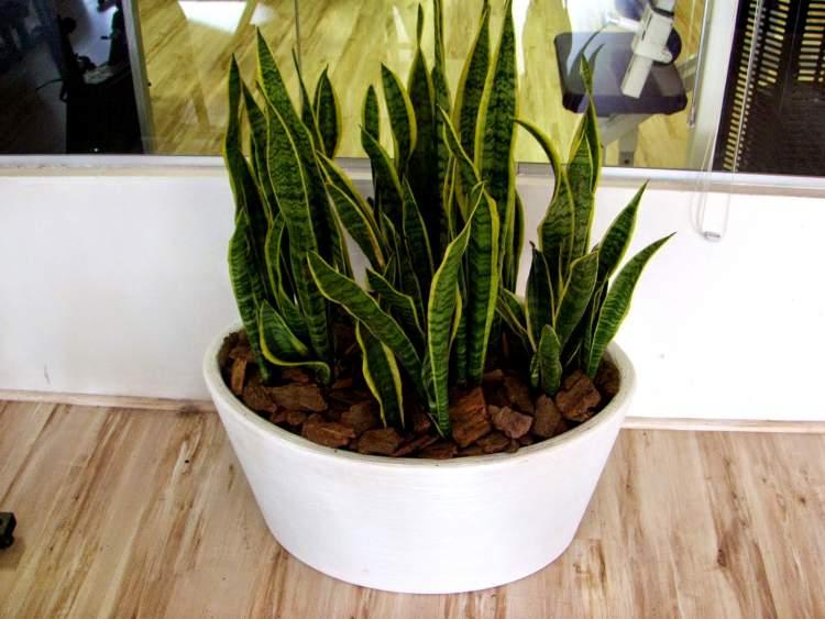 Espada-de-São-Jorge é uma das Plantas para Colocar Dentro de Casa e que Não Precisam de Muita Água