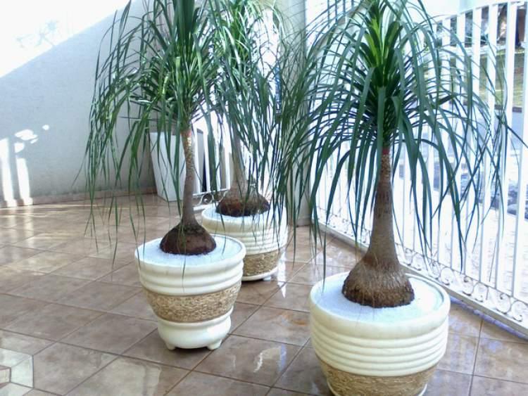 Pata de Elefante é uma das Plantas para Colocar Dentro de Casa e que Não Precisam de Muita Água