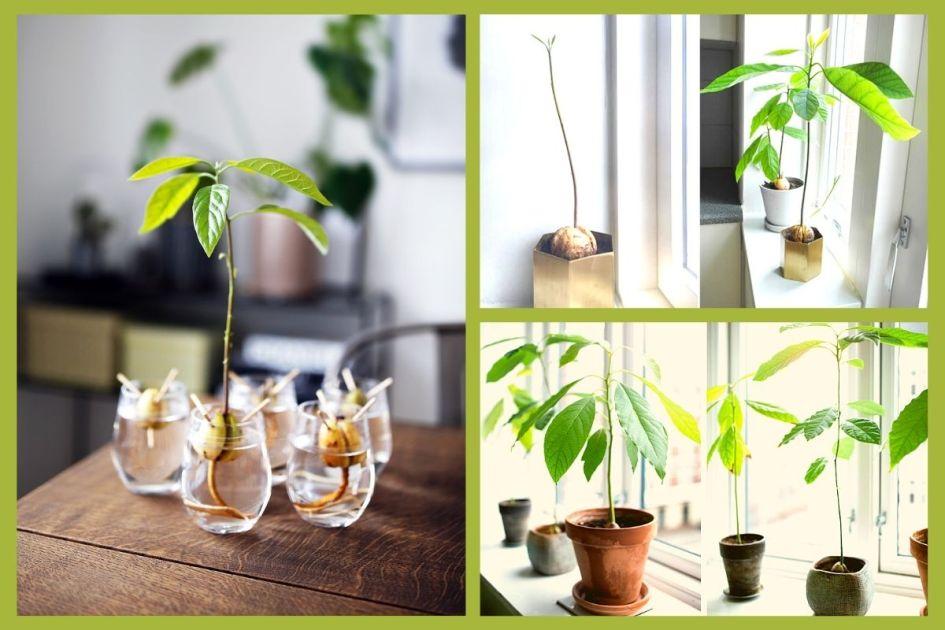 Abacate é uma das plantas perfeitas para decorar