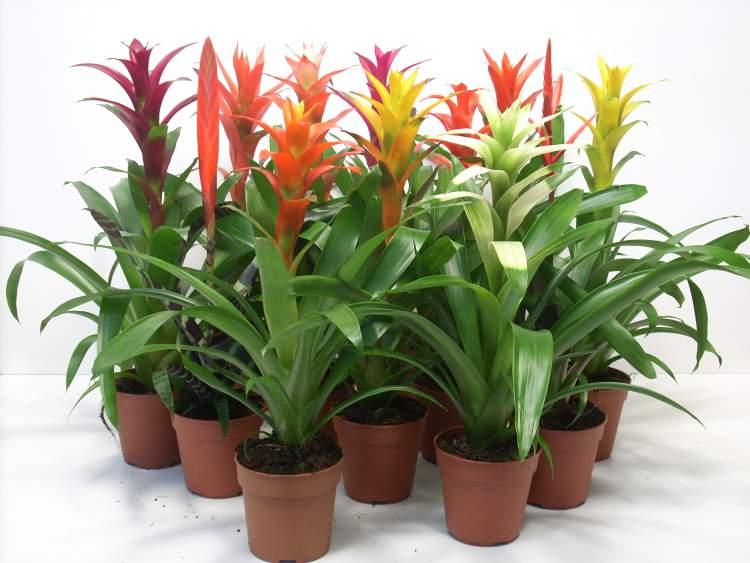 Bromélias é uma das plantas perfeitas para decorar o interior da sua casa