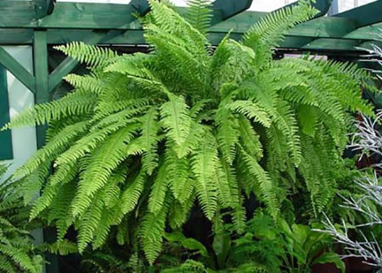 Samambaia de Boston é uma das plantas perfeitas para decorar o interior da sua casa