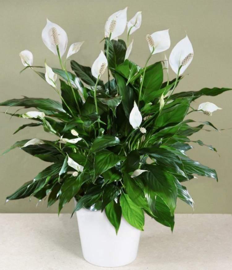 Lírio-da-Paz é uma das plantas que podem ser cultivadas no escritório para reduzir o estresse