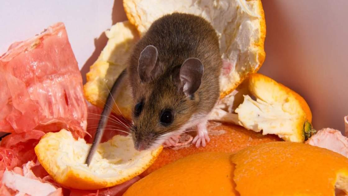 Truque caseiro para afastar os ratos de casa