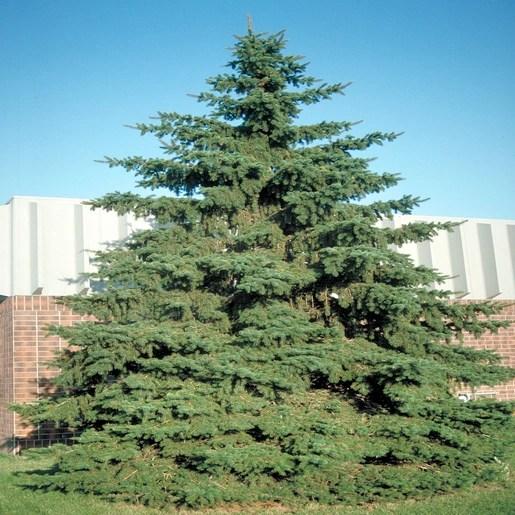 Picea Glauca White Spruce 6 Ft Siteone
