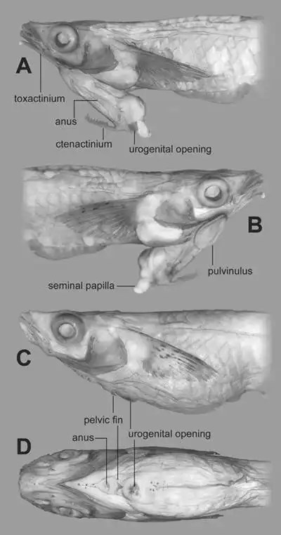 Descubren un pez con un pene en la cabeza
