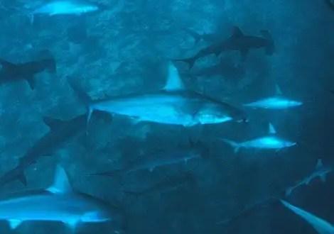 Una mujer quiere engendrar tiburones para comérselos