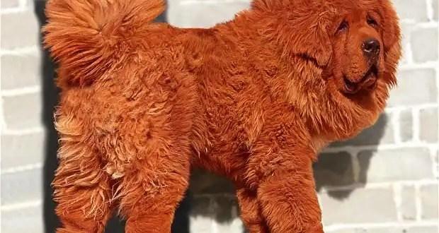 ¿Cuánto cuesta el perro más caro del mundo?