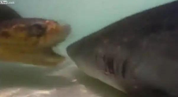 Video: Tortuga ataca a tiburón, casi le come un ojo