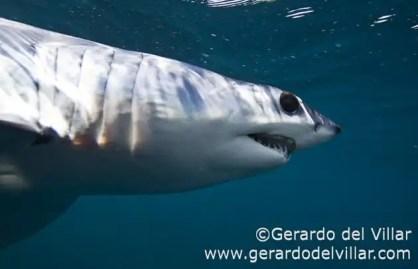 Conoce a Mako el tiburón más mortal del océano