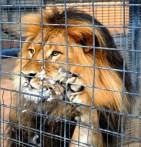 Paloma lograr huir de las fauces de un león