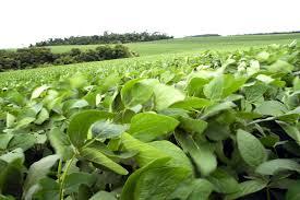 La soja alcanzó su mayor nivel de los últimos dos meses y cerró cerca de los 500 dólares