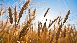 La producción de trigo crecerá un 26%