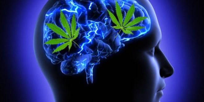Una dosis baja de marihuana puede convertirse en un potencial tratamiento para revertir el proceso de envejecimiento del cerebro