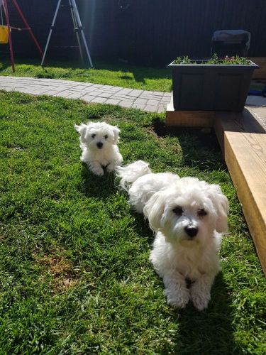 puppis-maltese-for-sale-5ce3b64c58d9e