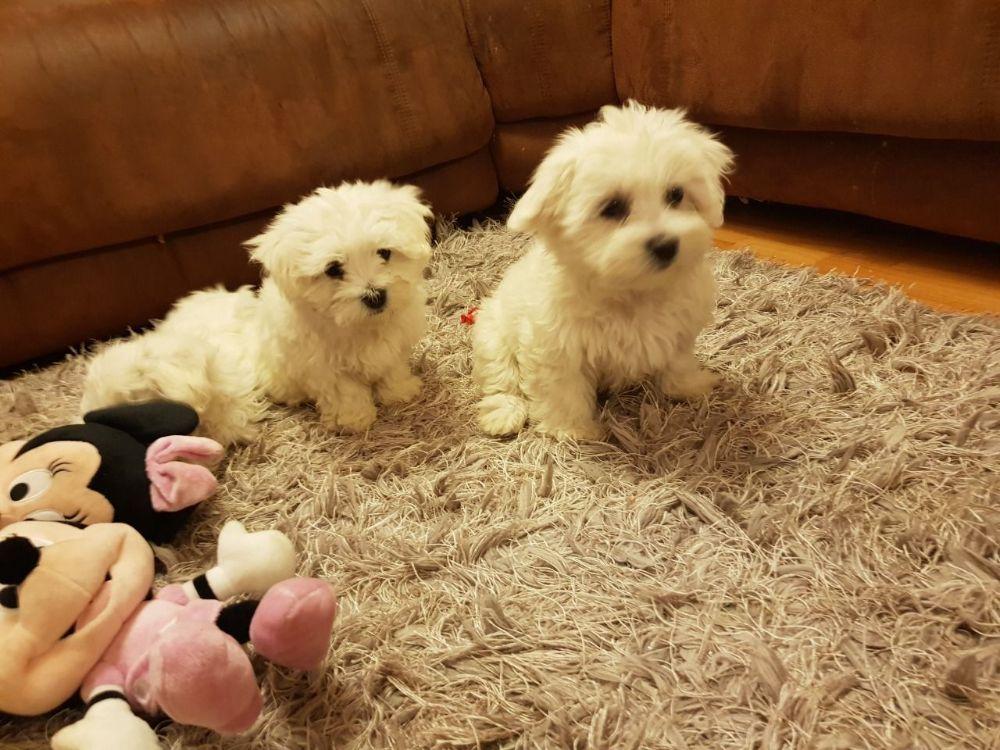 puppis-maltese-for-sale-5ce3a80e8a6f2