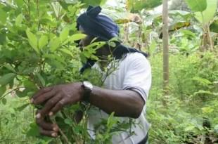 Perú tiene más superficie cultivada de coca que Colombia