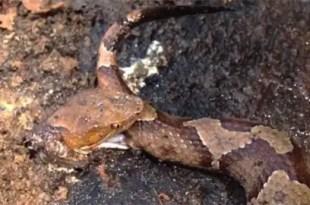 Insólito: Serpiente decapitada se muerde a sí misma - Vídeo