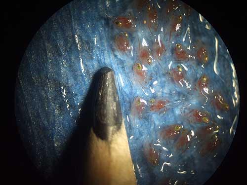 jpg blue king crab larvae