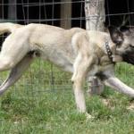 Sivas Kangal Köpeği Resimleri