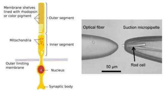 Rods of the retina