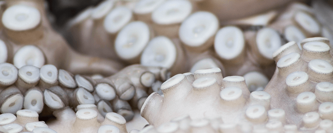 Octopus Suckers Close Up