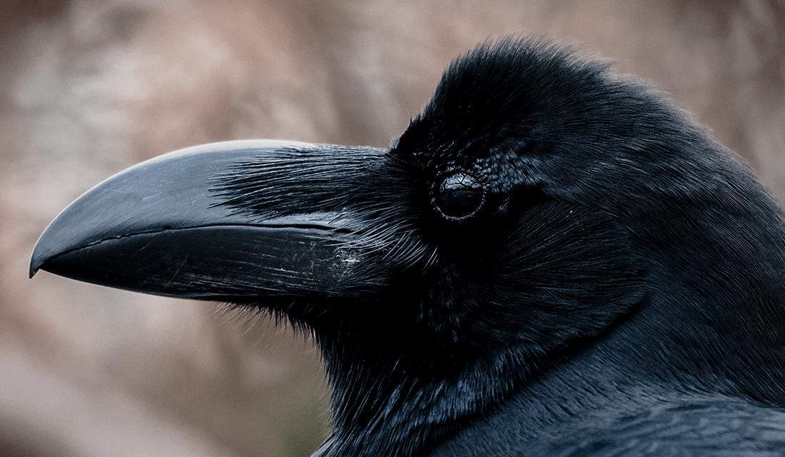 Raven in Profile