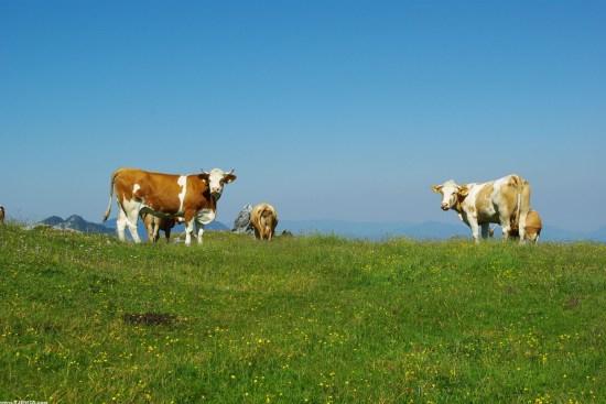 Krave na livadi