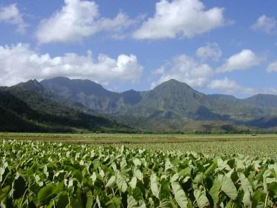 Hanalei taro fields.