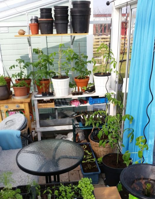 Plantera ut tomater