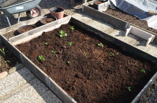 Potatis planterad i odlingsram