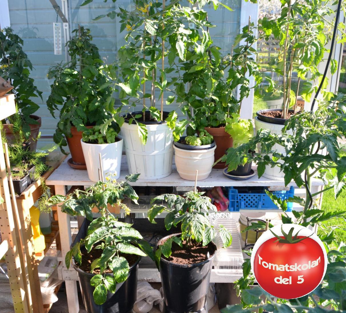 näring till tomatplantor