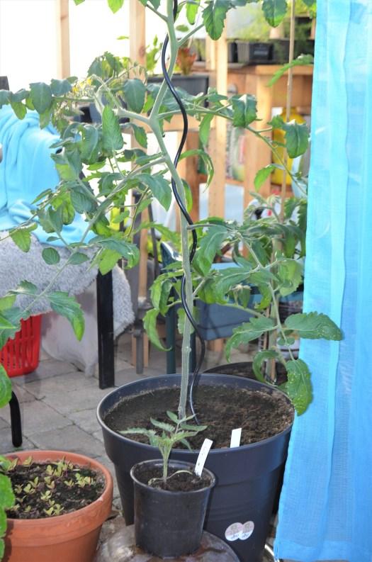 Skötsel av tomatplantor