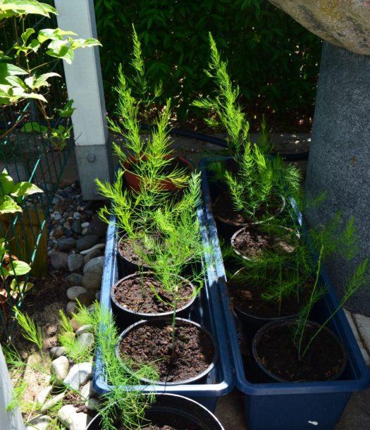 Plantera om sparris