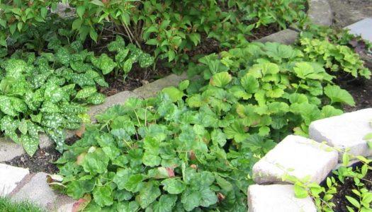 skuggväxter