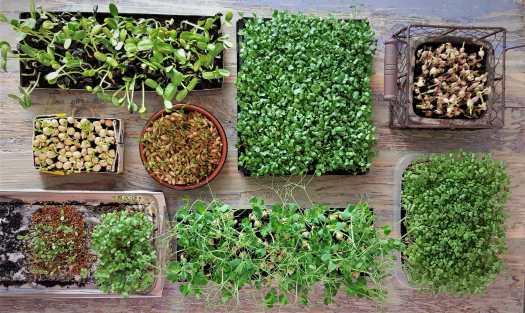 odla solrosskott och ärtkskott