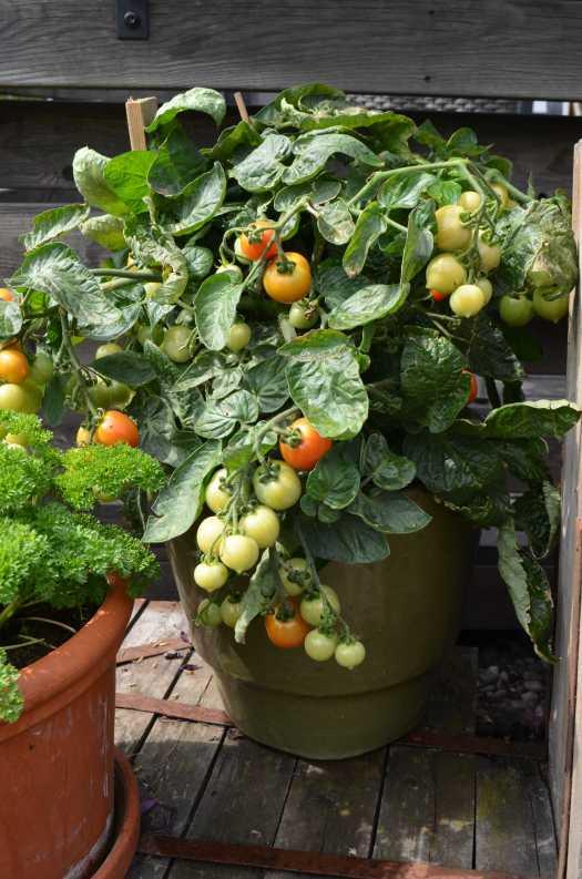 olika tomatsorter att odla