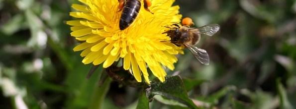 Von hinten stechen die Bienen