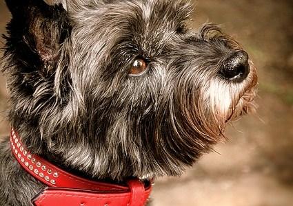 Hund mit Halsband, Cairn Terrier Grau Tierheim Tierschutz Aufmerksam