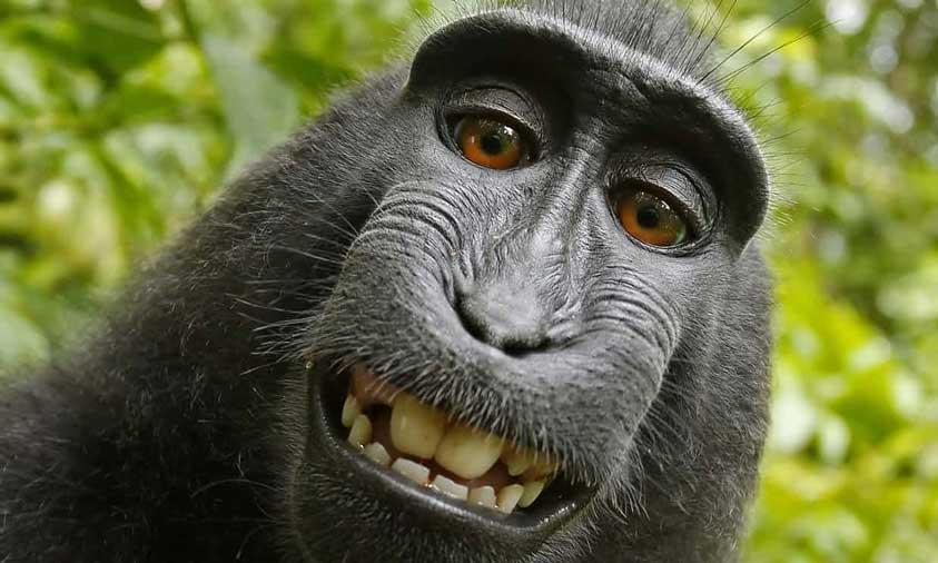 Monkey Selfie legal case settled – The Monkey gets 25%
