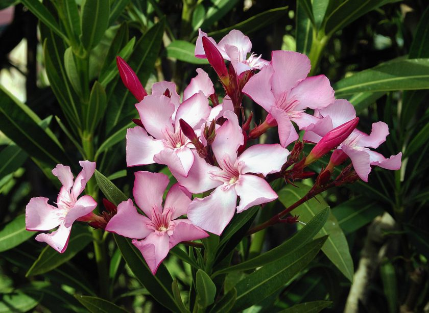 The oleander plant is beautiful but also deadly because of a toxic extract called oleandrin.