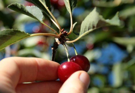cherry-picking-tree
